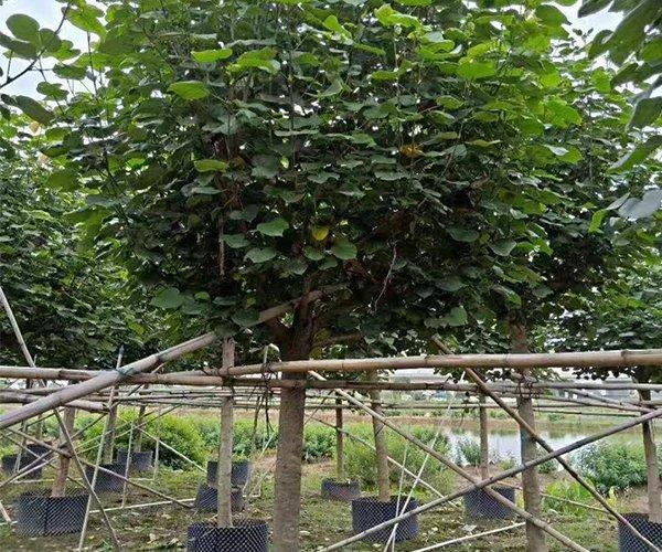黄槿树2020年最新价格1