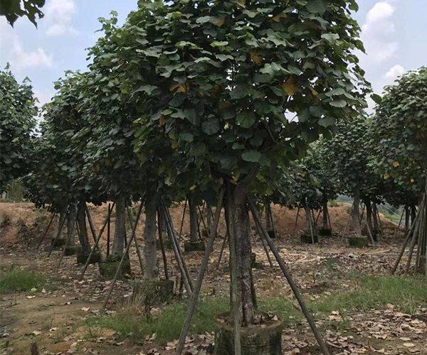 黄槿树2020年最新价格3