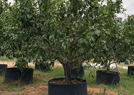 果皮最厚的水果树:柚子树