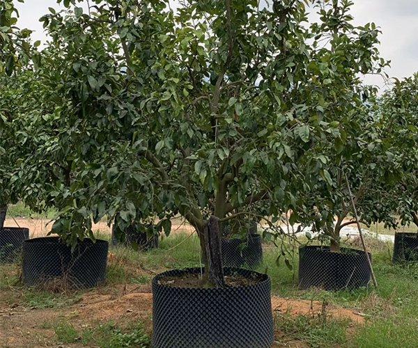 果皮最厚的水果树:柚子树1
