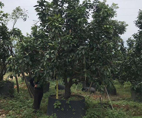 果皮最厚的水果树:柚子树3