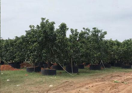 可以种在院子里的柚子树