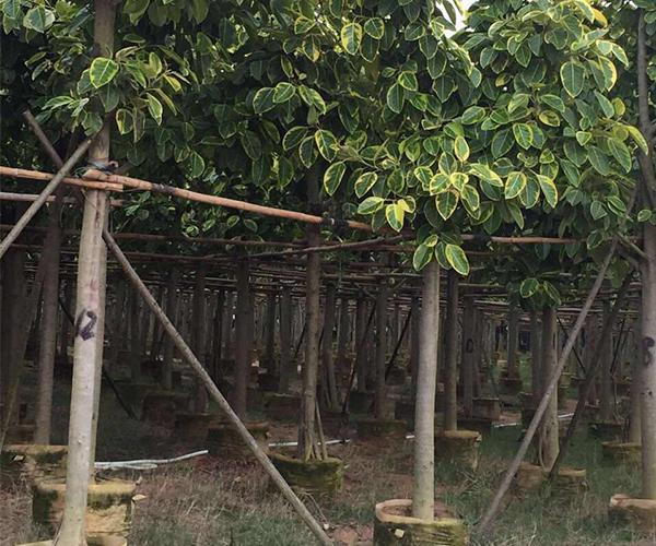 园林景观中用来突出层次的富贵榕2