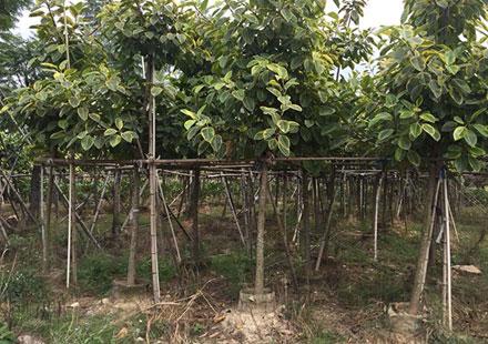 可购园苗木场向全国批发富贵榕