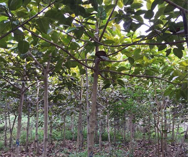 好客园苗木场向全国批发富贵榕3