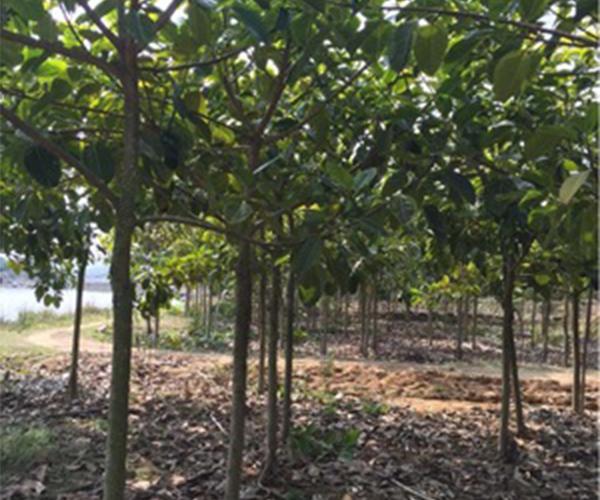好客园苗木场向全国批发富贵榕2