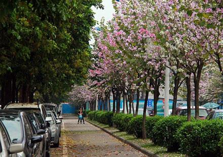 机动车隔离带上的那宫粉紫荆树