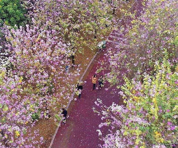公园那条美不胜收的宫粉紫荆道路1