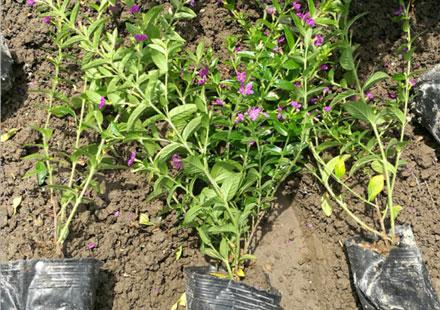 常绿工程花卉(萼距花)