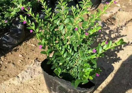 基地供应萼距花苗高25-30厘米