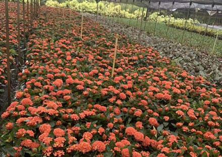 大棚里种植的龙船花