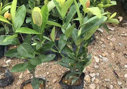 家里的盆栽:龙船花