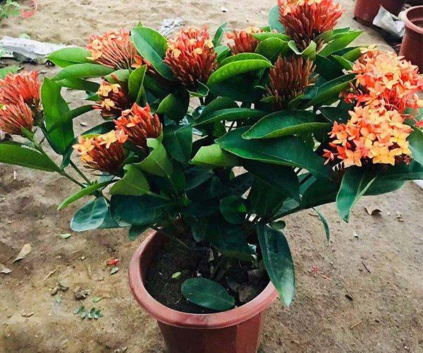 家里的盆栽:龙船花2
