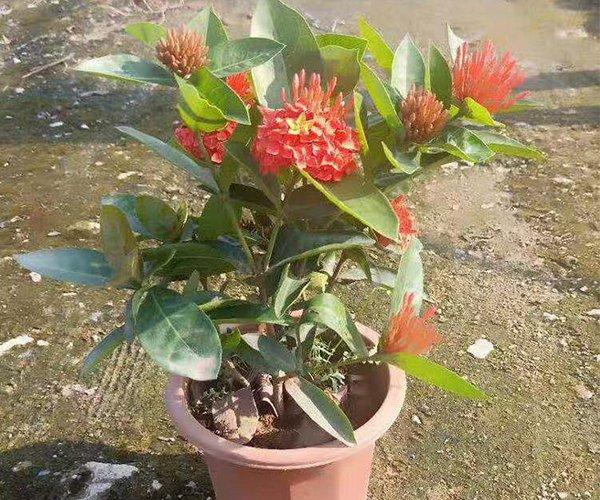 家里的盆栽:龙船花1