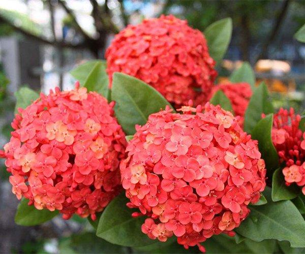 鲜艳的大红花球:龙船花1