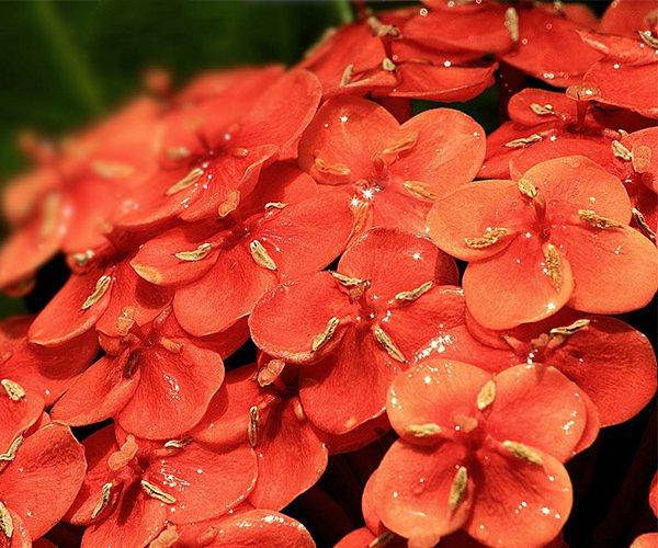鲜艳的大红花球:龙船花2