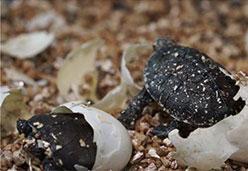 用蛭石孵化乌龟
