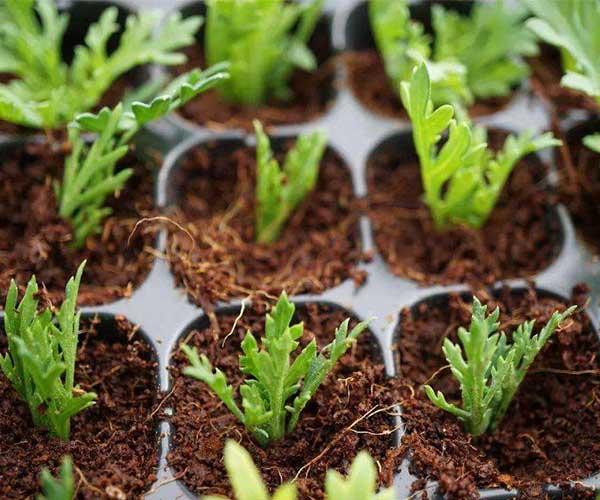 蛭石培育菜苗3