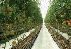 蛭石运用在种植西红柿上