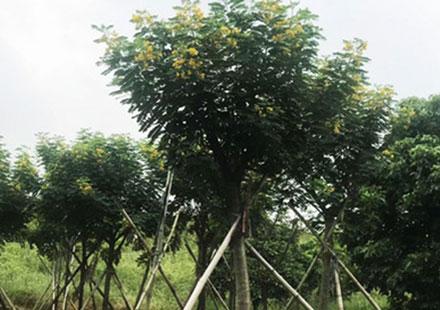 高达4米的独杆黄花槐