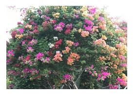 五雀三角梅大众种植户,苗子充足
