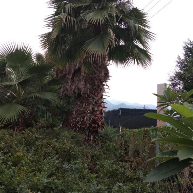 华棕种植基地