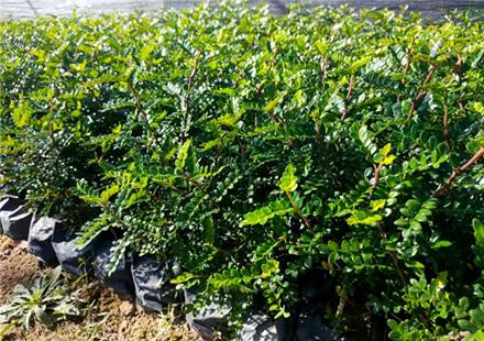 胡椒木袋苗专业种植,金黄色花