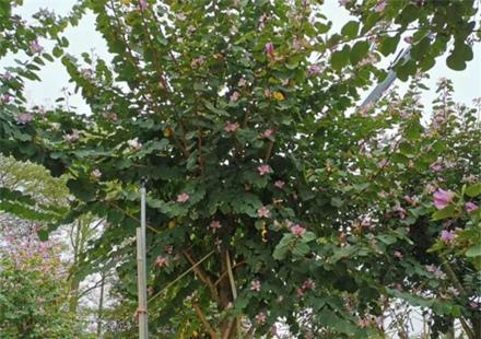 花期长的宫粉紫荆小苗基地