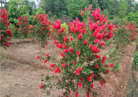 红色喜庆观景树:福建串钱柳