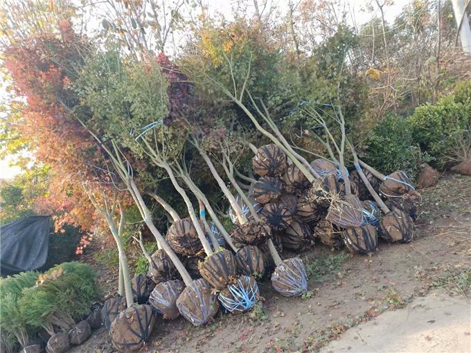鸡爪槭基地