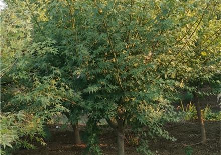 8公分鸡爪槭现货供应